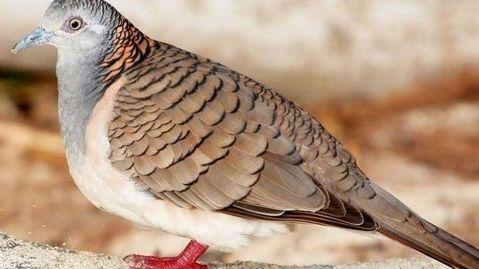 Alasan Memelihara Hingga Keunikan Burung Perkutut Termasuk Ciri Jenis Serta Harganya Di Pasaran